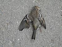 Junger Buchfink, Scheibenopfer                                                Foto: @ P. Morass/ Tiroler Landesmuseen